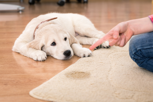 5 Tips On How To Remove Pet Urine Smell From Carpet