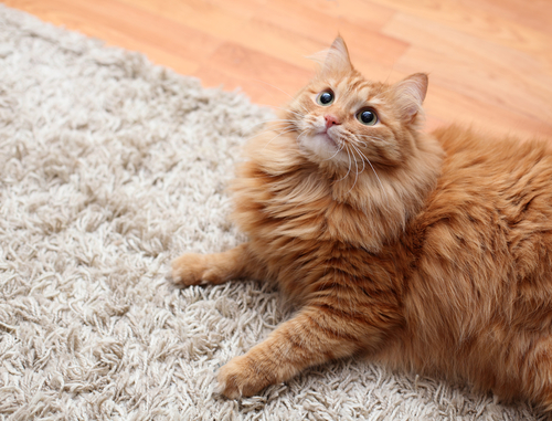 Carpet Cleaning Removes Pet Odors