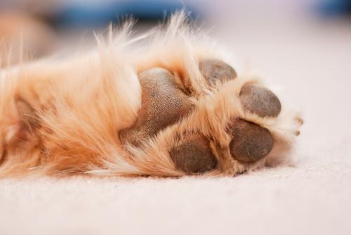 Is Carpet Shampoo Safe For Pets?